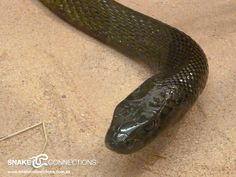 Inland Taipan ... one of the world's most venomous snakes