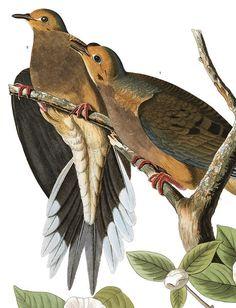 John James Audubon's Birds of America Audubon Prints, Audubon Birds, Nature Prints, Bird Prints, Birds Of America, John James Audubon, Bird Illustration, Bird Pictures, Vintage Birds