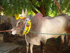What is Mattu Pongal Festival and How Used To Pamper And Torture Bulls? - http://www.managementparadise.com/forums/status-messages-quotes-sayings-jokes-updates-ideas-wishes-sms-greetings-images-wallpapers/293656-what-mattu-pongal-festival-how-used-pamper-torture-bulls.html