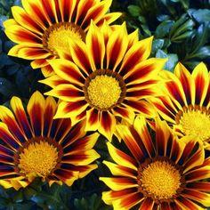 Gazania 'Kiss Yellow Flame'.  Full sun, heat tolerant, low maintenance