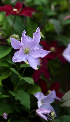 Clematis 'Blue Angel' with Clematis 'Niobe' in the background.