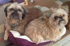 Meet Boogie and Jaxx-Rancho Santa Margarita, CA a Petfinder adoptable Brussels Griffon Dog   Irvine, CA   MEET JAXX and BOOGIE in Orange County, CA!  If you are interested in Jaxx and Boogie, please go to...