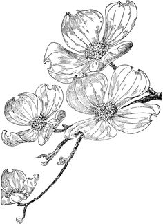 dogwood tattoo, with a honeybee on there somwhere Botanical Drawings, Botanical Art, Botanical Illustration, Dogwood Flower Tattoos, Dogwood Flowers, Pink Dogwood, Purple Flowers, Plant Drawing, Painting & Drawing