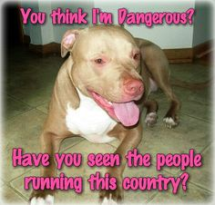 You think I'm dangerous? #PitBulls #Dogs #Funny
