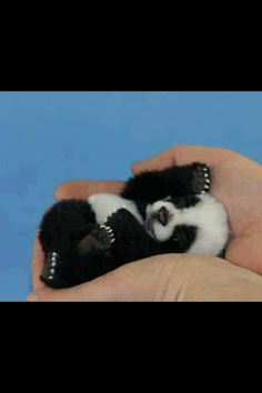 The smallest panda of the world.