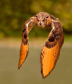 Owl in flight ~ it's rare to see an owl out like this in day light.