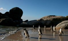 Penguins walk on Boulders Beach in Cape Town, South Africa in this June 2007 file photo. Beach Trip, Vacation Trips, Vacation Spots, Vacation Ideas, Penguin Walk, Boulder Beach, Best Budget, Travel Bugs, Cape Town