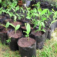 Curcuma Longa, Planta Ecommerce, Plants, Tents, E Commerce