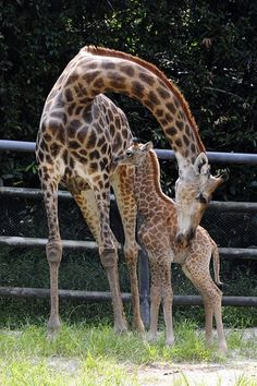 mother and baby giraffe Giraffe Pictures, Cute Animal Pictures, Funny Pictures, Beautiful Creatures, Animals Beautiful, Baby Otters, Cute Posts, African Animals, Mother And Baby