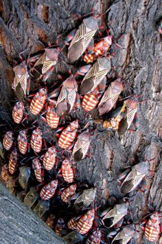 Giant mesquite beetles