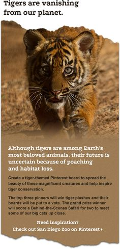 Populations in the wild are vanishing at rapid rates. Help spread the word about Tiger conservation.