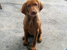 Puppy breed information list with pictures Vizsla Puppies, Weimaraner, Dogs And Puppies, Doggies, Dog Breeds Pictures, Puppy Pictures, Puppy List, Hungarian Vizsla, Pet Style