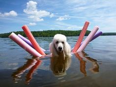Poodle enjoying floating on the water!!! does your fur friend enjoy the water???