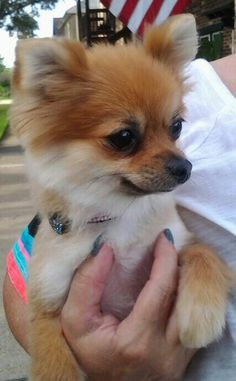 Miss Bella, what's your new haircut, Pomeranian