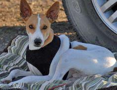 Samson the Toy Fox Terrier-Gorgeous!