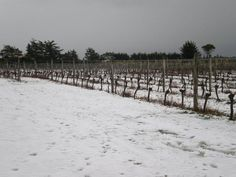 Ashwell Vineyard, martinborough, New Zealand, 20 August 2011  A Polar Blast  This week we've been hit by some unusually cold weather conditions. Snow is fairly uncommon on the Martinborough terraces, even in the  middle of winter. But this week, our vineyard was turned into a real winter wonderland (complete with snowman). Snow doesn't cause any  issues for the vines at this time of year, all that resulted was a beautiful sight.