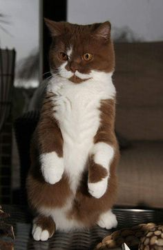 Is it a meerkat or merely a cat?