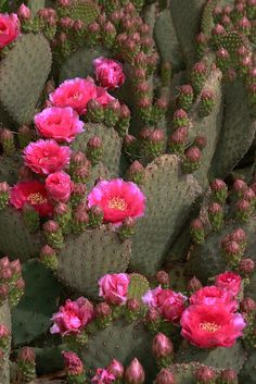 Start being active . instantaneous Hands Rises pattern towards your garden dining room table as a result of potting all the way up an important miniature landscape for baby cactus. Plants With Pink Flowers, Desert Flowers, Desert Plants, Exotic Flowers, Cacti And Succulents, Planting Succulents, Cactus Plants, Planting Flowers, Cacti Garden