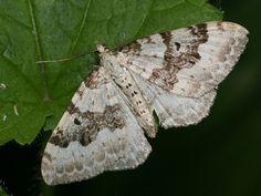 Píďalka šťovíková Garden Angels, Moth, Butterflies, Insects, Butterfly, Bowties, Papillons