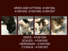 ARIES AND KITTENS: A1091554, A1091555, A1091556, A1091557 - - Brooklyn  ***TO BE DESTROYED 10/24/16***SECOND CHANCE TONIGHT FOR BEGINNER RATED CYGNUS – HELP THE LAST KITTEN FIND A HOME TONIGHT!! WELL, THE ONLY GOOD NEWS ABOUT THIS MOM AND BABIES…THREE ARE ALREADY SAFE! THE BAD NEWS… CYGNUS IS NOT AND NEEDS A FOSTER OR ADOPTER TO COMPLETE THIS HAPPINESS! CYGNUS is just 13 weeks old and she had been so well behaved that the assessment team had no choice but