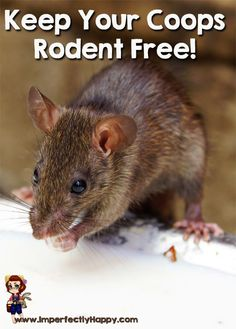 Tips for a Rodent Free Coop - keeping your flock healthy and safe. Keep your coop mice and rat free! Raising Backyard Chickens, Backyard Chicken Coops, Chicken Coop Plans, Keeping Chickens, Building A Chicken Coop, Diy Chicken Coop, Pet Chickens, Urban Chickens, Chicken Fence