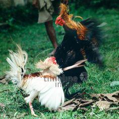 Hahnenkampf auf Bali, 1979 Schneckes/Timeline Images #colorphotography #retro #nostalgic #vintage #historisch #historical #indonesia #indonesien #bali #cock #hahn #fightingcock #kampfhahn #kampfhähne #tradition #traditionell #traditional #animal #animals #tier #tiere #alltagsleben #dailylife #vogel #bird #fight #kampf Rooster, Animals, Animales, Animaux, Animal, Animais, Chicken