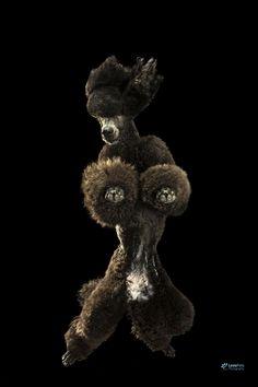 poodle by Glenn  Addison on 500px