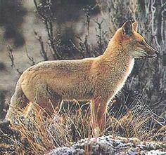 Zorro Culpeo, Fauna en Chile