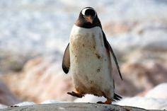 Gentoo penguin. #OceanwideExpeditions #PhotoContest