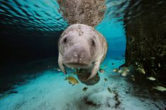 Manatee -  Please Join My Friend Jimmy Buffett  , And Help  Keep The South Florida Waters Safe For Me.