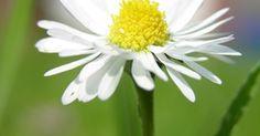 Descripción de las flores margarita