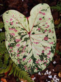Posts About Caladium On Forest Garden