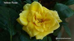Flowers from My Cam: 4. Yellow Rose ~ Kurinji Kathambam