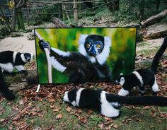 Conservation charity put 4K TVs into primate enclosures to show life-like footage to animals who'll be introduced to protected areas of their natural habitat from 2016 onwards. Goggle-eyed Lemurs in front of the 4K TV