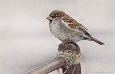House Sparrow Bird Art by Bird Artist Adrian Smart Sparrow Bird, House Sparrow, Bird Artists, Newspaper Art, Bird Illustration, Watercolor Bird, Happy Animals, Wildlife Art, Animal Paintings