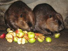 Beavers, Ähtäri Zoo in Finland