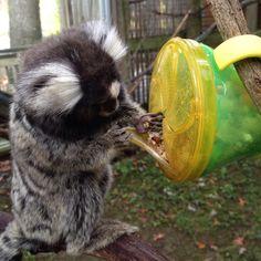 22 Secrets Zookeepers Will Never Tell You Zoo Animals, Animals And Pets, Funny Animals, Cute Animals, Marmoset Monkey, Pygmy Marmoset, Monkey Cage, Pet Monkey, Pet Fox
