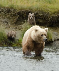 Coastal Brown Bears - Silver Salmon Creek Lodge - David Rasmus 500px