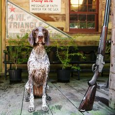 """Celebrating """"Southern Porch Dogs"""" from Nell Dickerson's new book: Memphis, a Deutsch Kurzhaar, in Bingham, Tennessee. Short Haired Pointer, Dog Garden, Southern Porches, Southern Homes, Southern Charm, Southern Living, Southern Style, Loyal Dogs, German Shorthaired Pointer"""