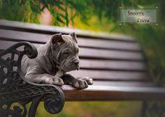 Cane Corso Italian Mastiff, Cane Corso Mastiff, Cane Corso Dog, Cane Corso Puppies, Really Big Dogs, Pet Dogs, Dogs And Puppies, Animals And Pets, Cute Animals