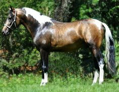 Mangalarga Marchador sooty buckskin tobiano stallion, JJ Fabuloso.