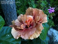 Daily bloom for August 30, 2012: Tropical Hibiscus (Hibiscus rosa-sinensis)'Magic Moments'. Photo by xxjohnxx.
