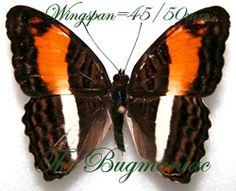 Nymphalidae : Adelpha boeotia - The Bugmaniac INSECTS FOR SALE BUTTERFLIES FOR SALE INSECTS FOR SALE BUTTERFLIES FOR SALE BUTTERFLIES BY ECOZONE NEOTROPICAL ECOZONE NYMPHALIDAE