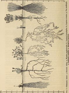 """Image from page 47 of """"The ecological relations of roots"""" Plant Illustration, Botanical Illustration, Botanical Drawings, Botanical Prints, Root System, Natural Forms, Natural History, Ecology, Roots"""