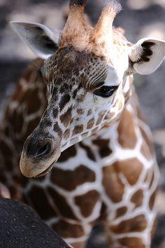 *Baby Giraffe