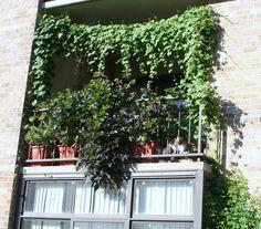 Balkon von vielen grünen Kletterpflanzen abgeschirmt
