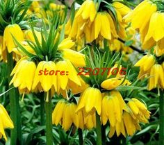 >> Click to Buy << 50 Yellow Imperial Crown Fritillaria imperialis Lutea seeds Easy To Grow Plant Soil planted bonsai home Little Garden #Affiliate