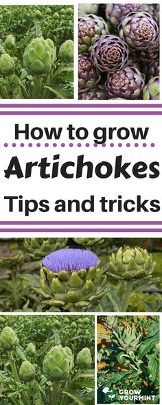 How to grow artichokes #garden#gardening#artichokes#growyourmint.com
