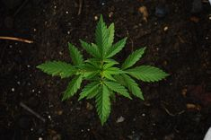 """The word """"cannabis"""" always sparks a controversial notion in our minds. For years, cannabis or marijuana has been deemed illegal in the United States, restricted only to medicinal use. Marijuana Plants, Cannabis Plant, Cannabis News, Medical Marijuana, Cannabis Cultivation, How To Grow Taller, Hemp Seeds, Federal, Cocktails"""