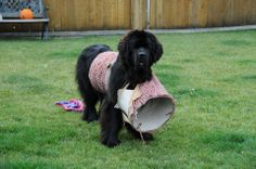 Oops...... poor Porter!! one size agility course does not fit all <3